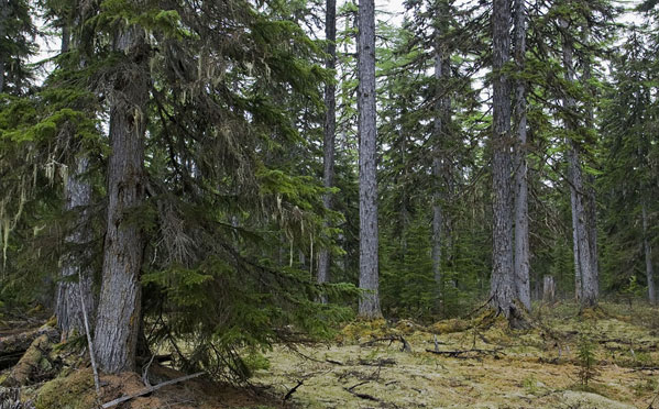spruce pine muslim personals Spruce pine definition, a tall coniferous tree, pinus glabra, of the southeastern us, having smooth, gray bark and needles in bundles of two see more.