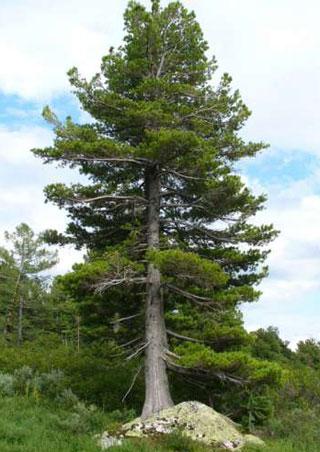 The Effect Of Cedar Nut Oil On Health Governing Energy Chakras