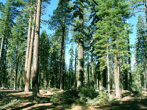 Siberian Cedar Forest