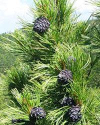 Essential Oils of the Siberian Cedar